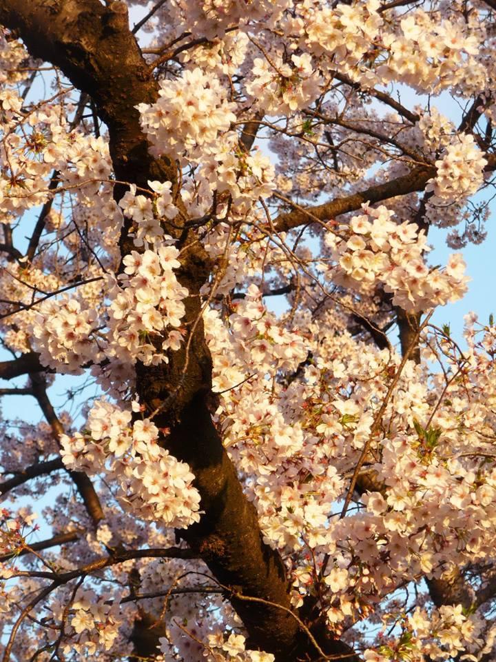 Yanaka, cerisier, Tokyo, Japon